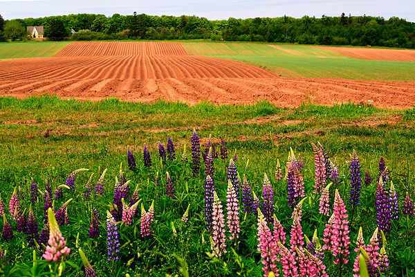 Lupins and red soil on farm