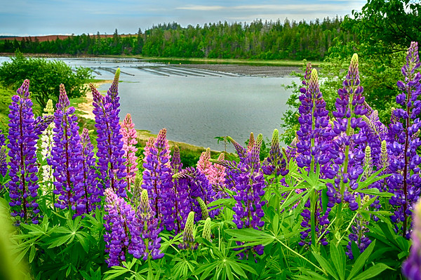 Lupins and Mussel Traps - June