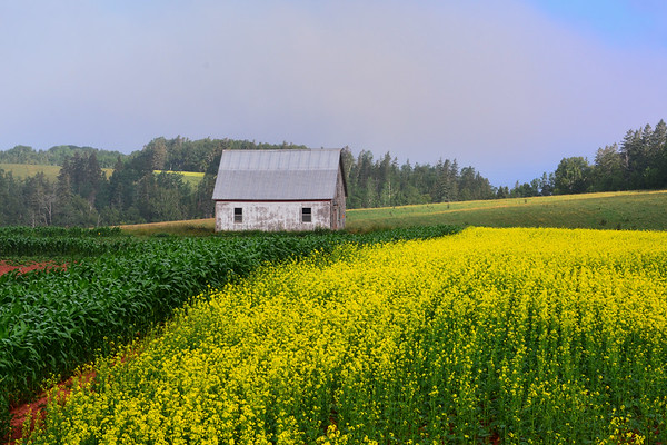 Colorful Barn with corn and canola