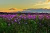 Purple Flowers and sunrise