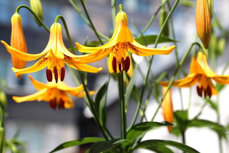 Tiger Lilies, Monastary Garden