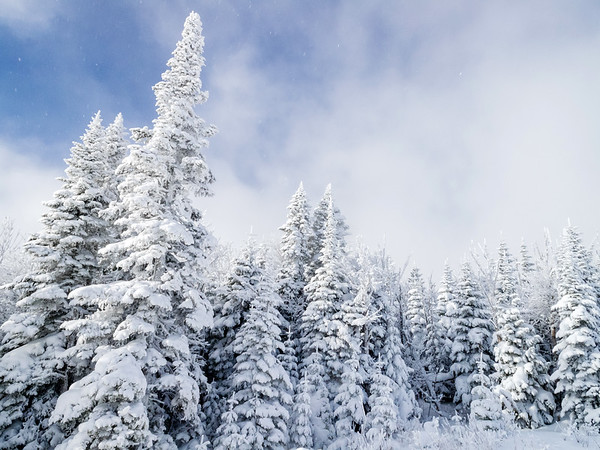 Snow on pine trees in Charlevoix, Quebec, Canada