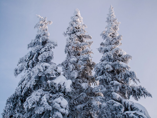 Frozen pine trees in Charlevoix, Quebec