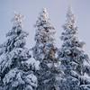Frozen pine trees in Charlevoix, Quebec