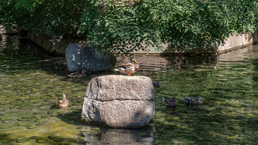 Ducks and garden at Hotel Bonaventure Montreal