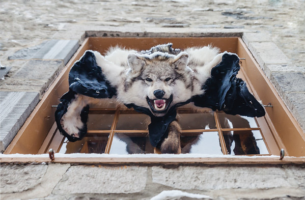 Wolf skin hanging from a window in Le Petit Champlain, Old Quebec City, Canada