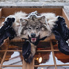 Wolf skin in Le Petit Champlain, Old Quebec City