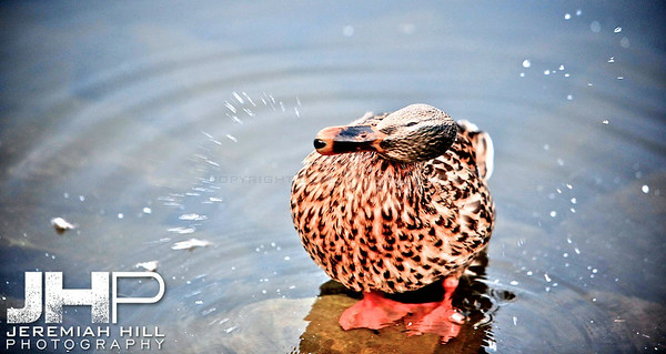 """Couchiching Duck #2"", Orillia, ON, Canada, 2011 Print JP11-93-325"
