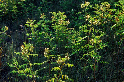 Grasslands National Park - East Block.   Wild American Licorice (Glycyrhiza lepidota)