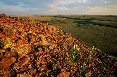 Grasslands National Park - East Block.  Evening star (Mentzelia decapetala)