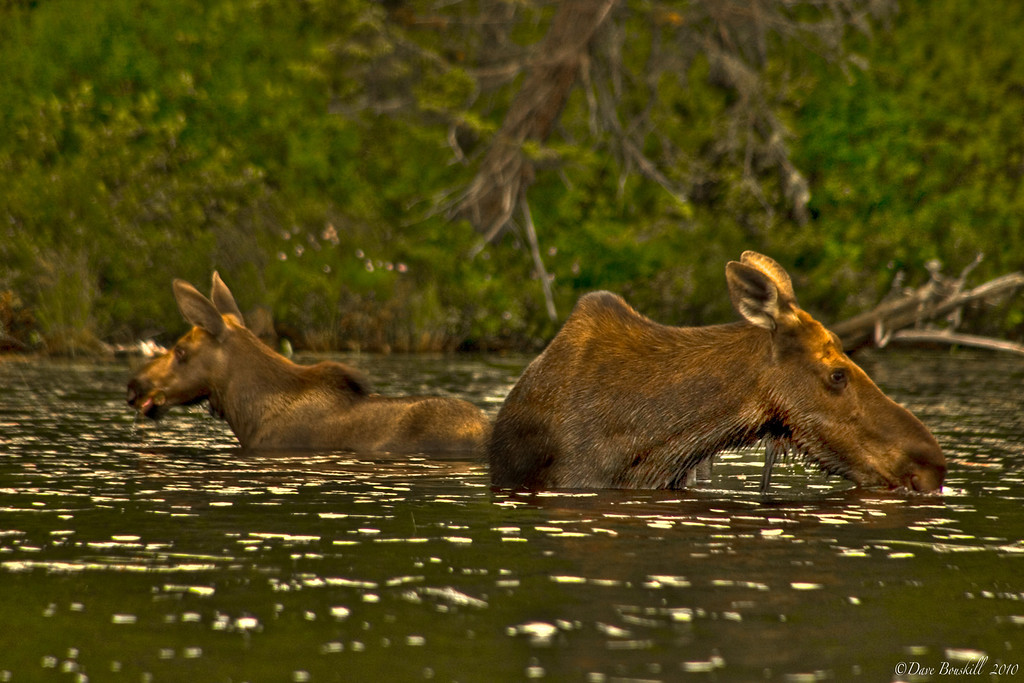 mother moose and calf in water of algonquin park