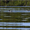 Loons following our boats