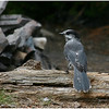 "Gray Jay or ""Whiskeyjack"""