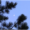 Moon twixt the red pine