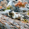 Hoary marmot (giant ground squirrel)