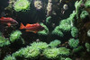 Squirrel Fish & Green Anemones