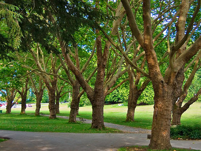 A line of trees in  Stanley Park, Vancouver BC.