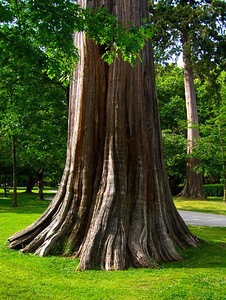 An old tree in Stanley Park, Vancouver BC.