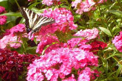 A butterfly enjoying the flowers at Butchart Gardens - Brentwood Bay, BC ... June 26, 2007 ... Photo by Rob Page III