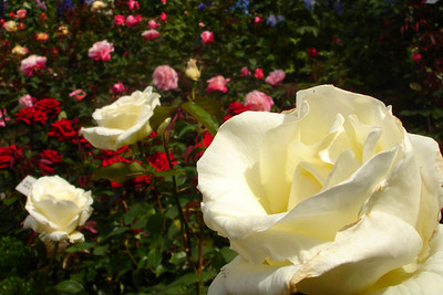 Roses at Butchart Gardens - Brentwood Bay, BC ... June 26, 2007 ... Photo by Rob Page III