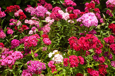 Flowers at Butchart Gardens - Brentwood Bay, BC ... June 26, 2007 ... Photo by Rob Page III