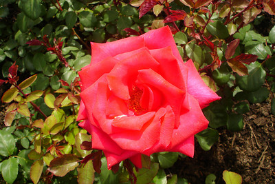 A rose at Butchart Gardens - Brentwood Bay, BC ... June 26, 2007 ... Photo by Rob Page III