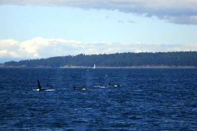 Orca whales surface - Strait of Georgia, BC ... June 25, 2007 ... Photo by Rob Page III