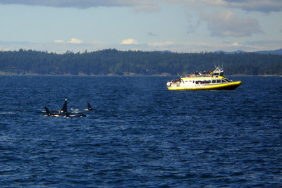 Orca whales surface near one of the whale watching boats - Strait of Georgia, BC ... June 25, 2007 ... Photo by Rob Page III