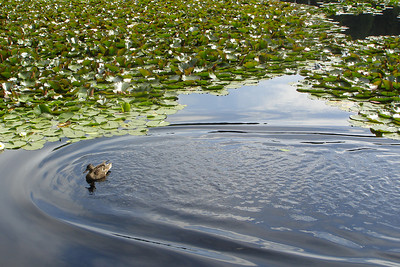 The duck comes in for a landing - Vancouver, BC ... June 23, 2007 ... Photo by Rob Page III