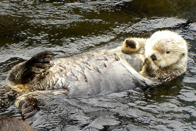 A sea otter - Vancouver, BC ... June 23, 2007 ... Photo by Rob Page III