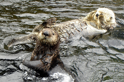 The sea otters - Vancouver, BC ... June 23, 2007 ... Photo by Rob Page III