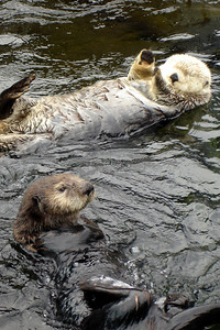 Cute sea otters - Vancouver, BC ... June 23, 2007 ... Photo by Rob Page III