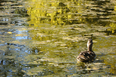A duck makes her way through the pond - Victoria, BC ... June 25, 2007 ... Photo by Rob Page III