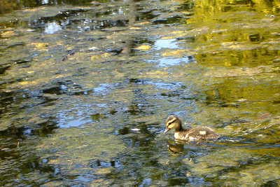 The duckling makes his way aorund the lake - Victoria, BC ... June 25, 2007 ... Photo by Rob Page III