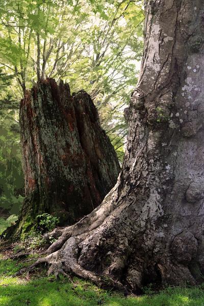 Stanley Park -Ancient Trunks