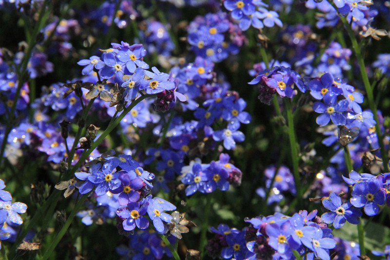 Forget -Me-Nots