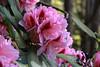 Blooming Mt Laurel