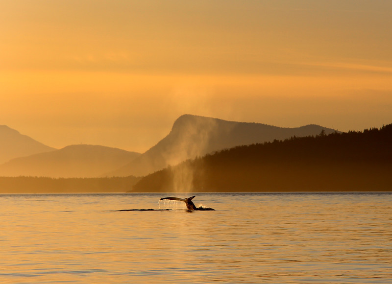 Victoria BC, Haro Strait, Eagle Wing Whale & Wildlife Tours, Humpback whale