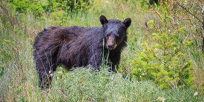 Black Bear, Tender Shoots