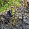 Black Bear - Ucluelet