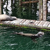 Sea Lions - Ucluelet