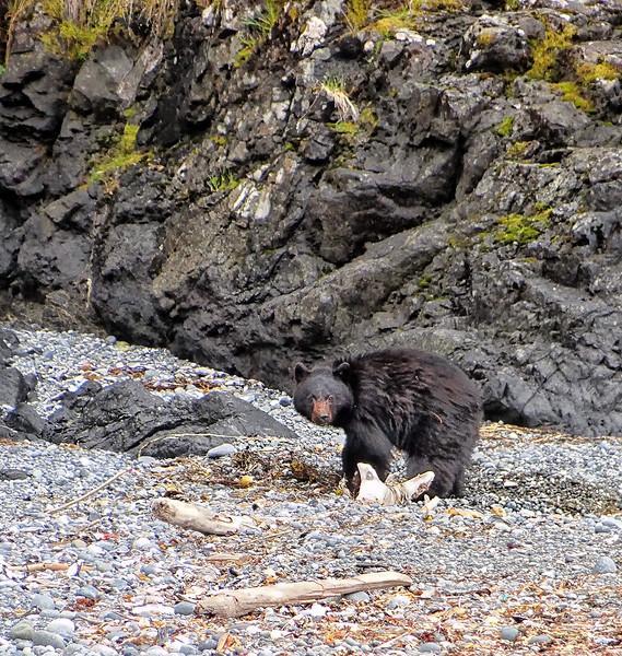 Black Bear - Ucluelet