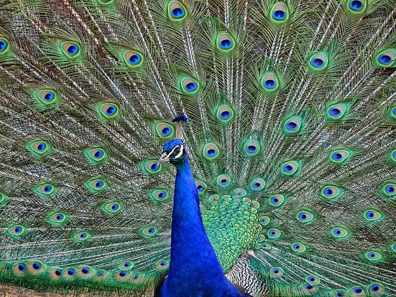Peacock - Beacon Hill Park - Victoria, BC