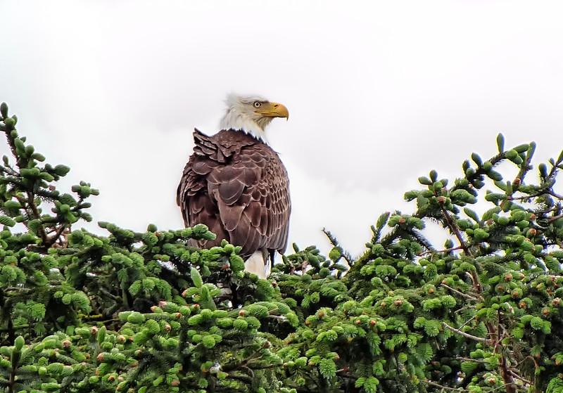 Bald Eagle - Ucluelet