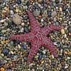 Starfish - Ucluelet