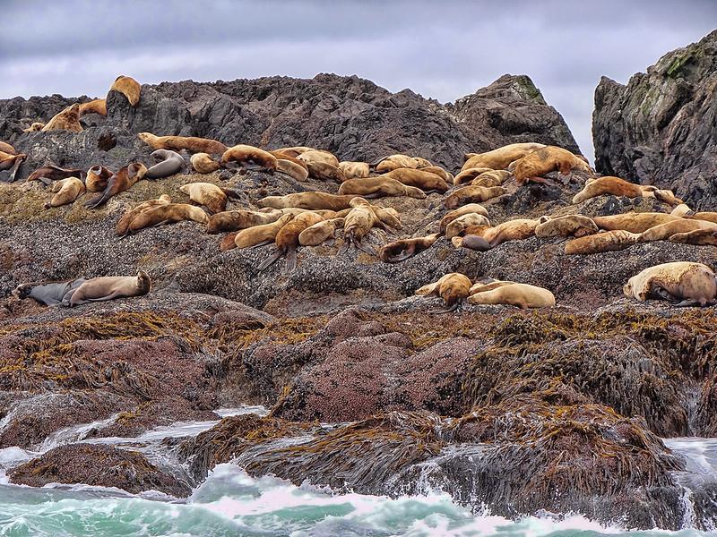 Sea Lions - Ucluelet