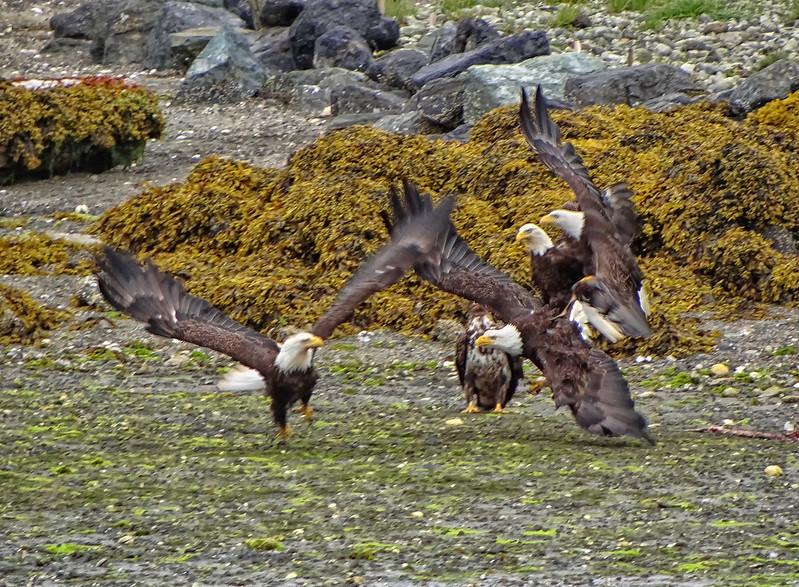Bald Eagles - Ucluelet