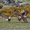 Bald Eagles - Ucluelet