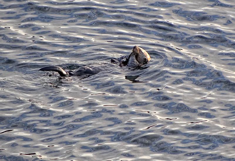 Sea Otter - Ucluelet