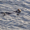Sea Otter - Ucluelet